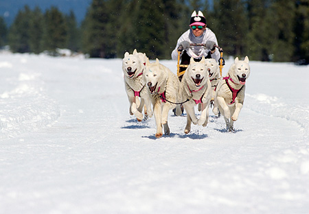 DOG 01 RK0150 02 © Kimball Stock Siberian Huskies Running On Snow Pulling Sled