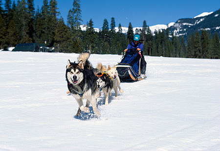 DOG 01 RK0151 17 © Kimball Stock Siberian Racing Huskies Running In Snow Pulling Sled With Man Mountains And Trees Background Blue Sky