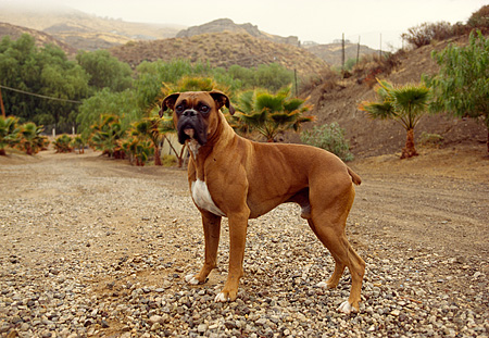 DOG 01 RK0161 04 © Kimball Stock Boxer Standing On Gravel Facing Camera Trees In Background