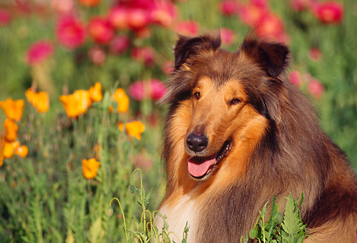 DOG 01 RK0166 05 © Kimball Stock Head Shot Of Collie Laying In Flower Garden