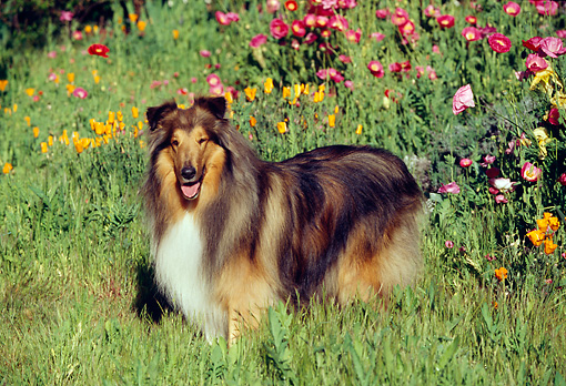 DOG 01 RK0167 06 © Kimball Stock Collie Standing In Flower Garden Facing Camera