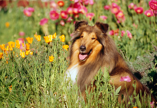DOG 01 RK0169 03 © Kimball Stock Collie Laying In Flower Garden