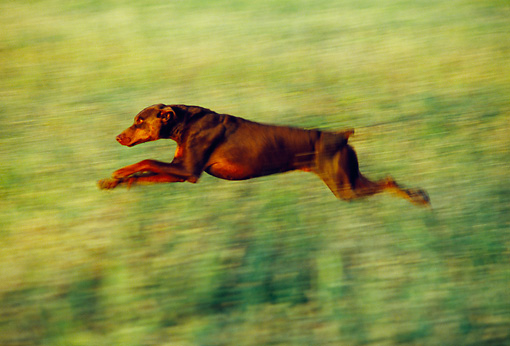 DOG 01 RK0195 02 © Kimball Stock Profile Of Doberman Pinscher Running In Field