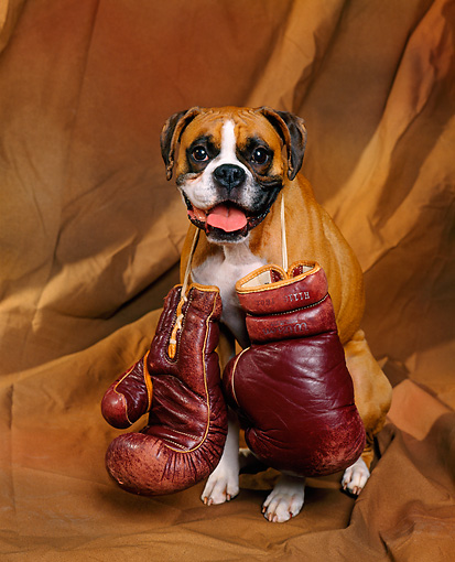 DOG 01 RK0199 06 © Kimball Stock Boxer With Boxing Gloves Around Neck Studio