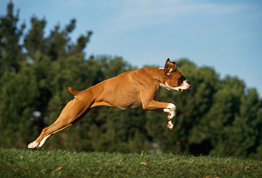 DOG 01 RK0218 04 © Kimball Stock Profle Of Boxer Running On Grass