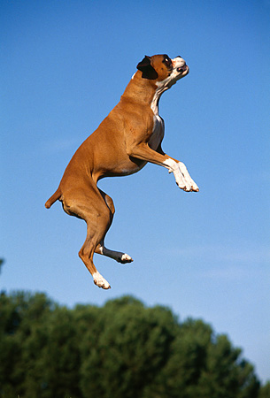 DOG 01 RK0219 02 © Kimball Stock Boxer Jumping In Air At Park Blue Sky