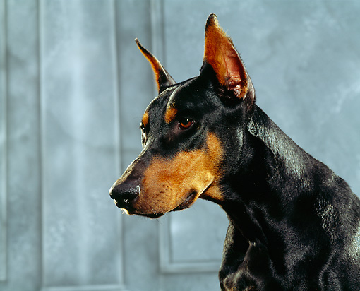 DOG 01 RK0221 02 © Kimball Stock Head Shot Of Doberman Pinscher Gray Marble Background
