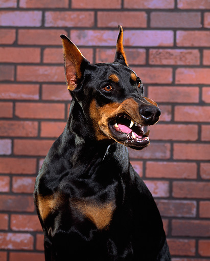 DOG 01 RK0228 01 © Kimball Stock Shoulder Shot Of Doberman Pinscher Sitting Growling Brick Background