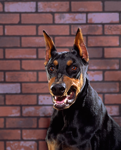 DOG 01 RK0228 05 © Kimball Stock Shoulder Shot Of Doberman Pinscher Sitting Growling Brick Background
