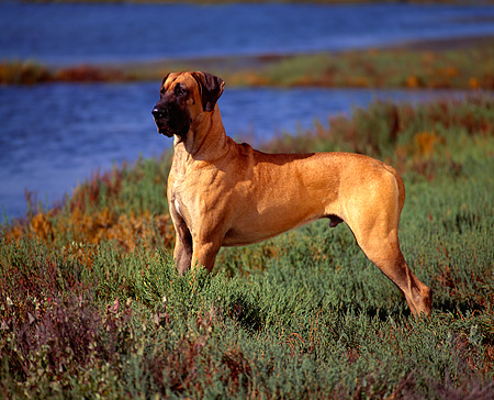 DOG 01 RK0262 03 © Kimball Stock Profile Shot Of Great Dane Standing On Marsh By Water