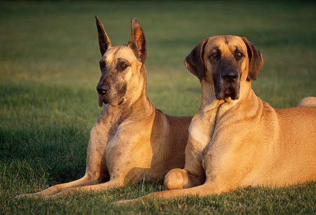 DOG 01 RK0264 01 © Kimball Stock Two Great Danes Laying On Grass At Dusk