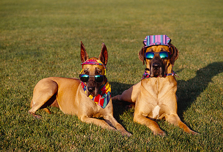 DOG 01 RK0267 12 © Kimball Stock Humorous Shot Of Two Great Danes  Wearing Sunglasses Bandanas And Hat On Grass