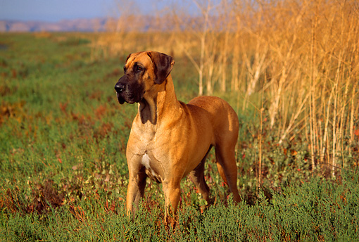 DOG 01 RK0278 03 © Kimball Stock Great Dane Standing On Marsh By Tall Dry Grass