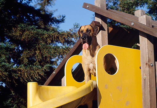 DOG 01 RK0279 01 © Kimball Stock Great Dane Standing On Top Of Slide Trees Blue Sky
