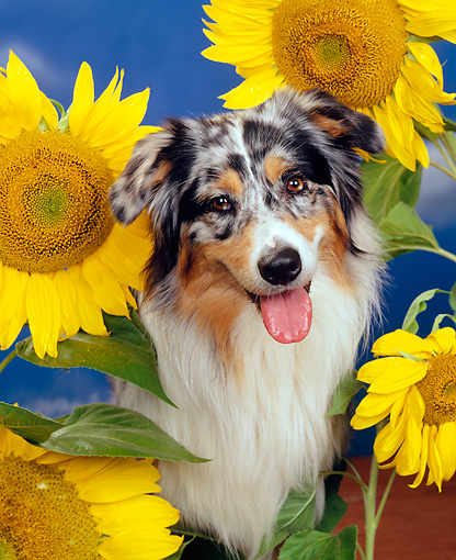 DOG 01 RK0310 02 © Kimball Stock Close-Up Of Australian Shepherd Sitting Surrounded By Sunflowers