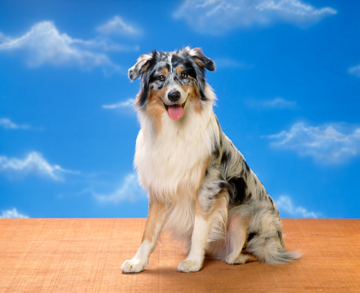 DOG 01 RK0312 03 © Kimball Stock Australian Shepherd Sitting Facing Camera Blue Sky Clouds Background
