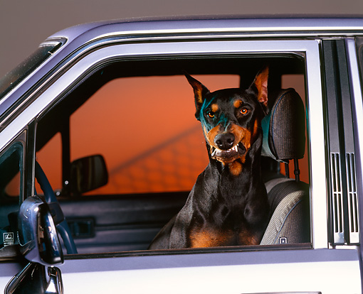 DOG 01 RK0313 02 © Kimball Stock Head Shot Of Doberman Sitting In Car Growling Studio