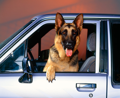 DOG 01 RK0315 02 © Kimball Stock Head Shot Of German Shepherd Sitting In Car