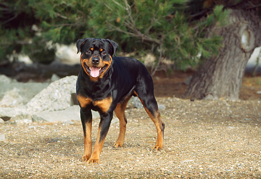 DOG 01 RK0343 09 © Kimball Stock Rottweiler Standing On Dirt By Pine Trees