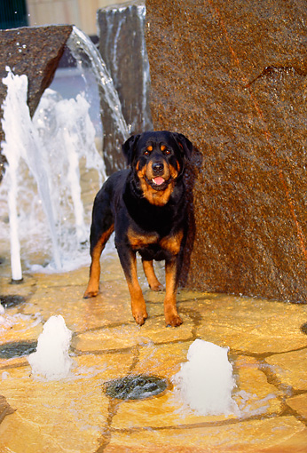 DOG 01 RK0352 04 © Kimball Stock Rottweiler Standing By Water Fountain