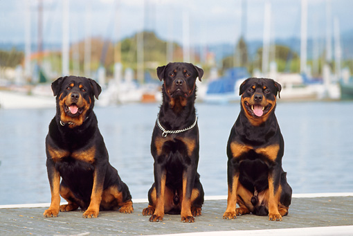 DOG 01 RK0363 05 © Kimball Stock Rottweiler Dogs Sitting Together On Boat Dock