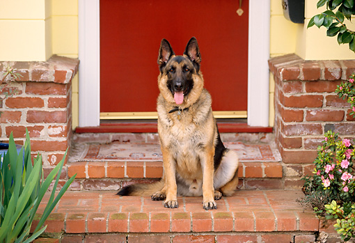 DOG 01 RK0415 05 © Kimball Stock German Shepherd Sitting On Brick Steps At Front Door Of House