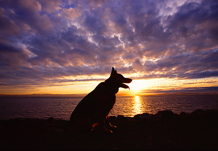 DOG 01 RK0419 01 © Kimball Stock Profile Silhouette Shot Of German Shepherd Sitting Near Water Cloudy Blue Sky Sunset