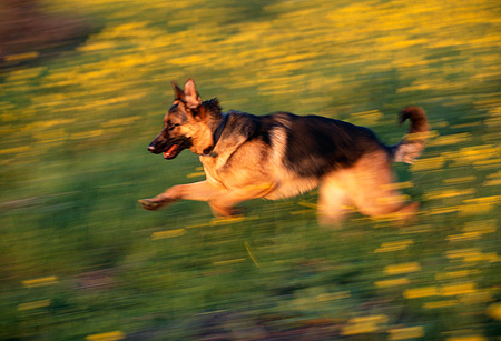 DOG 01 RK0450 01 © Kimball Stock Blurry Profile Shot Of German Shepherd Running Through Yellow Flower Field