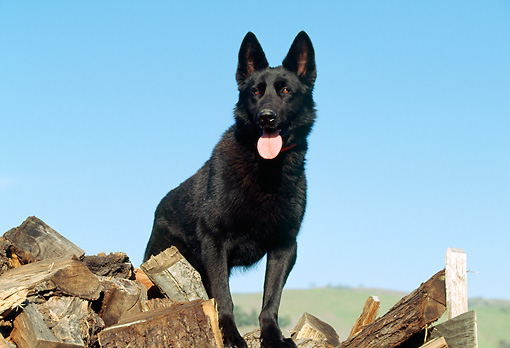 DOG 01 RK0459 03 © Kimball Stock Black German Shepherd Standing On Woodpile Blue Sky