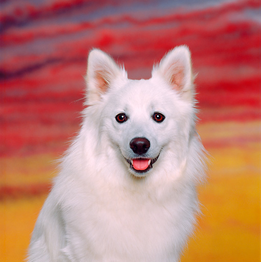 DOG 01 RK0477 05 © Kimball Stock Head Shot Of American Eskimo Sitting Sunset Studio