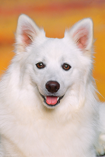 DOG 01 RK0480 03 © Kimball Stock Head Shot Of American Eskimo Studio