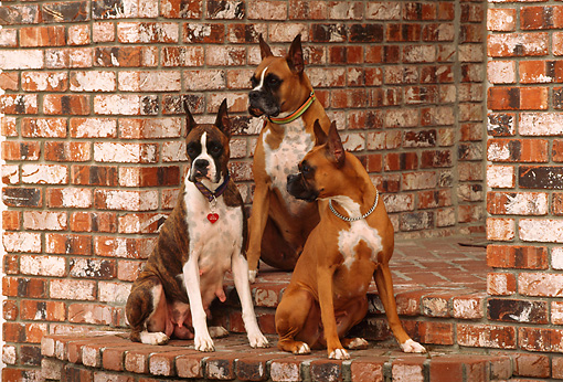 DOG 01 RK0494 12 © Kimball Stock Three Boxers Sitting On Brick Steps