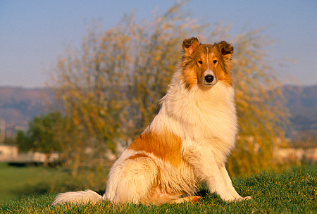 DOG 01 RK0510 04 © Kimball Stock Rough Collie Sitting On Grass Mountains Background
