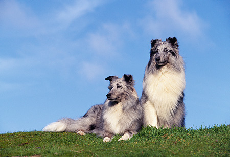 DOG 01 RK0517 02 © Kimball Stock Two Shetland Sheepdogs Laying And Sitting On Grass Facing Camera Clouds Blue Sky