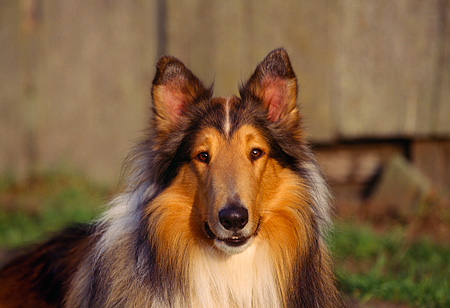 DOG 01 RK0527 04 © Kimball Stock Close Up Head Shot Of Sable Rough Collie Facing Camera Wooden Fence Background