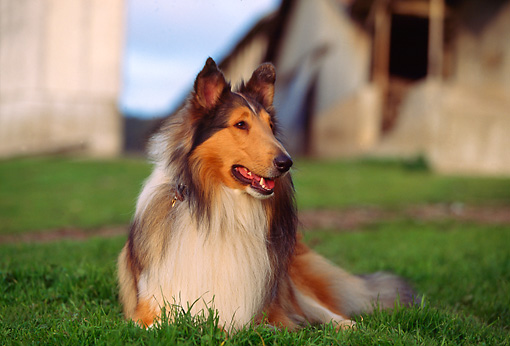 DOG 01 RK0528 01 © Kimball Stock Sable Rough Collie Laying  On Grass