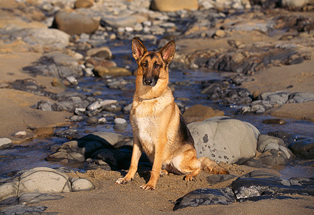 DOG 01 RK0542 04 © Kimball Stock German Shepherd Sitting On Wet Sand By Rocks Facing Camera