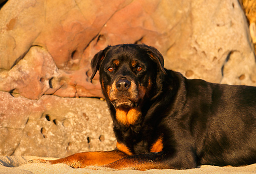 DOG 01 RK0595 01 © Kimball Stock Head Shot Of Rottweiler Laying On Sand