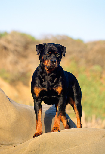 DOG 01 RK0601 15 © Kimball Stock Rottweiler Standing On Top Of Rock At Beach