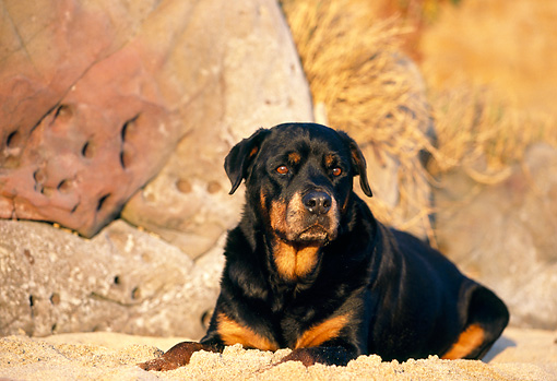 DOG 01 RK0602 02 © Kimball Stock Rottweiler Laying On Sand By Rocks