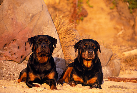 DOG 01 RK0614 07 © Kimball Stock Shoulder Shot Of Rottweilers Laying Down On Sand Against Rock