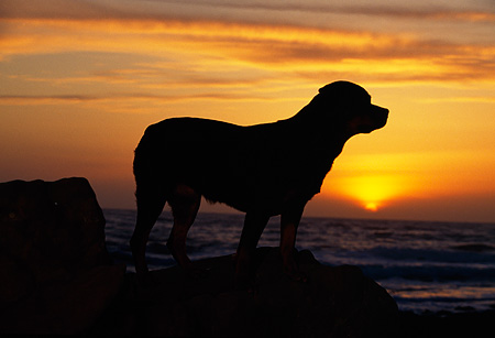 DOG 01 RK0615 05 © Kimball Stock Silhouette Shot Of Rottweiler Standing On Rock Sunset Background