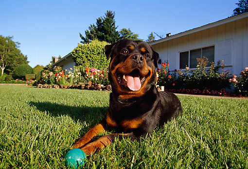DOG 01 RK0628 01 © Kimball Stock Wide Angle Shot Of Rottweiler Laying On Grass By Ball