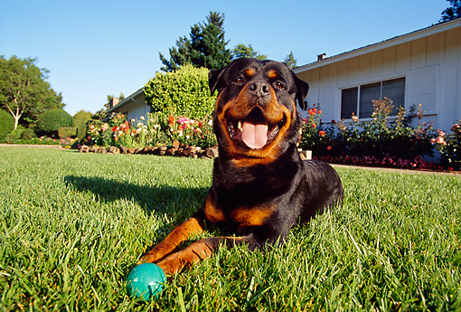 DOG 01 RK0628 06 © Kimball Stock Wide Angle Shot Of Rottweiler Laying On Grass By Ball