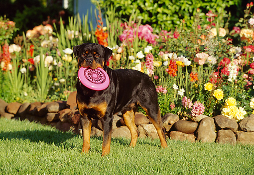 DOG 01 RK0630 02 © Kimball Stock Rottweiler Standing On Grass With Frisbee In Mouth Flowers Background