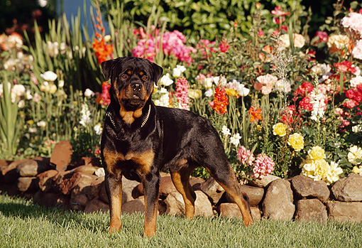 DOG 01 RK0636 02 © Kimball Stock Rottweiler Standing On Grass By Flower Garden