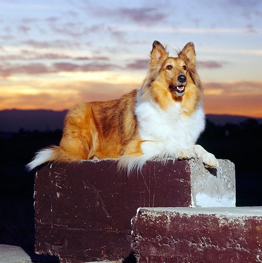 DOG 01 RK0648 04 © Kimball Stock Collie Laying On Block At Sunset