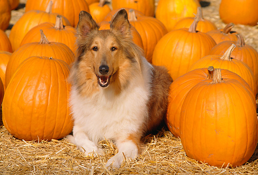 DOG 01 RK0650 03 © Kimball Stock Head Shot Of Collie Laying  Next To Pumpkins