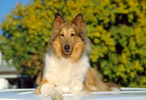 DOG 01 RK0656 02 © Kimball Stock Collie Laying On Top Of Car Facing Camera Trees Blue Sky