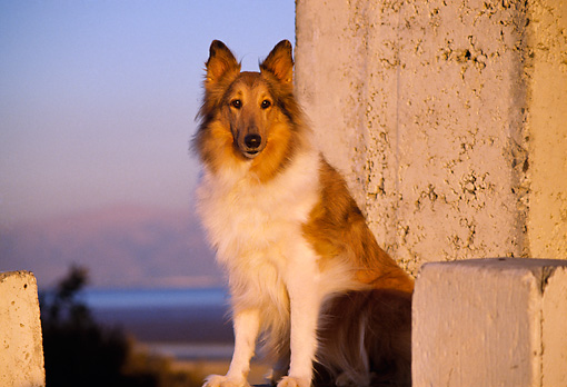 DOG 01 RK0659 01 © Kimball Stock Collie Sitting By Cement Blocks At Sunset